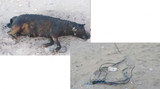 صعقة كهربائية تفحم جثة حيوان بسيدي بيبي