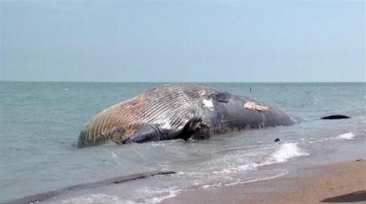مياه الشاطئ تلفض حوتا ضخما نواحي كلميم