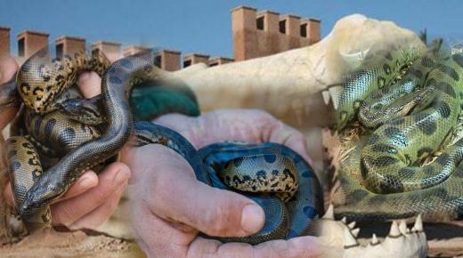 """فيديو : ولادة أول """" اكوندا """" بمنتجع التماسيح في أكادير"""