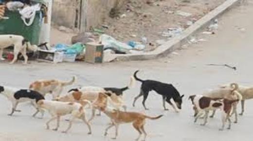 الكلاب الضالة تهاجم المواطنين في تزنيت