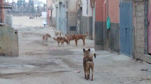 الكلاب الضالة تهدد سلامة المواطنين بجماعة تمسية