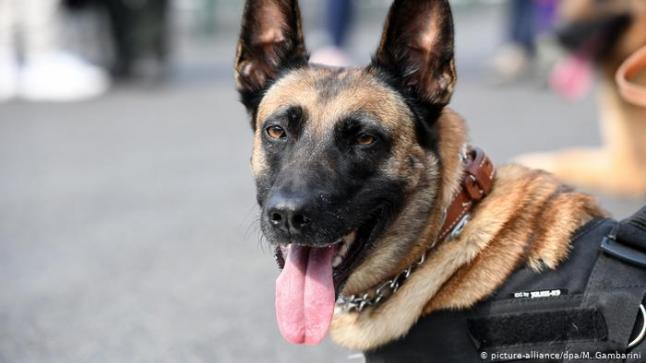 الجيش الجزائري يستعمل كلابا مجهزة بكاميرات لاختراق الجدار الأمني