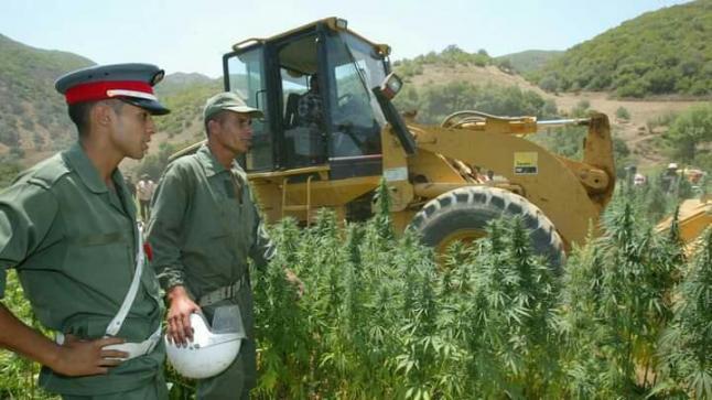 المغرب يتجه نحو تقنين استعمالات نبتة القنب الهندي