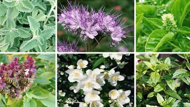 نباتات عطرية وطبية.. المغرب يحتل المرتبة الثانية عالميا بحوالي 4200 صنف